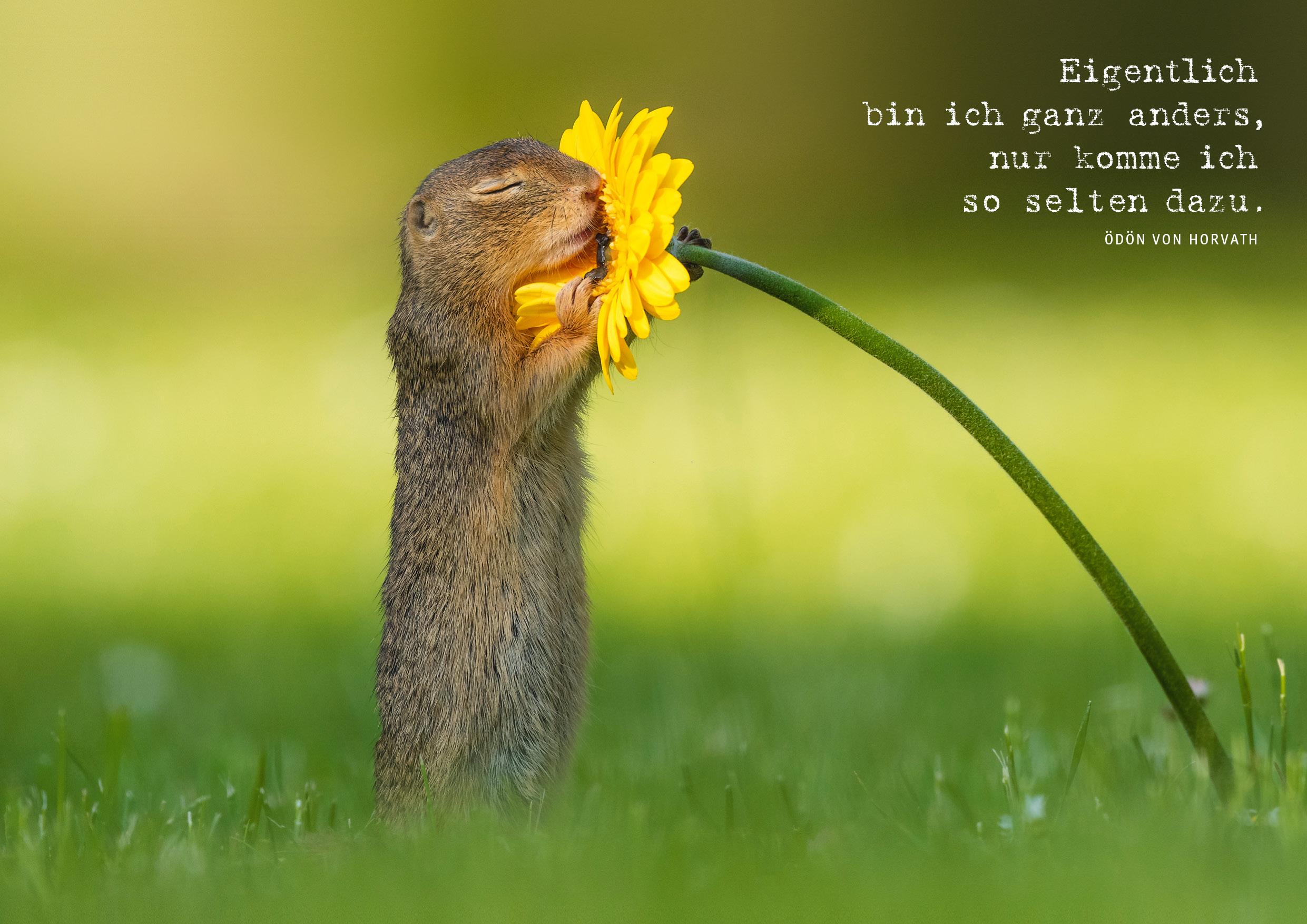 Die Postkarte zeigt ein Erdhörnchen auf einer Frühlingswiese, das an einer Gerbera riecht.